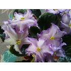 Фиалка Bubble Gum Charm нежно-розовая с цветками в виде звездочек, края лепестков фиолетовые, волнистые, цветение продолжительное - свежесрезанный листок
