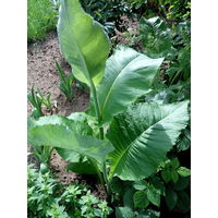 Девасил - многолетнее лекарственное растение.