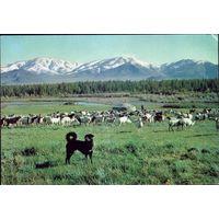 Монголия Собака,стерегущая овец