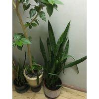 Щучий хвост большое растение в серьезном фарфоровом горшке  Сансевиерия Тёщин язык