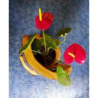 Антуриум красный или белый с вазоном и подставкой 15 см росток