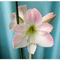 Гиппеаструм Apple Blossom (взрослая луковица)