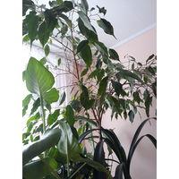 Фикус Бенджамина, взрослое растение.