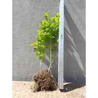 Саженцы бирючины для живой изгороди Высота 40-50 см
