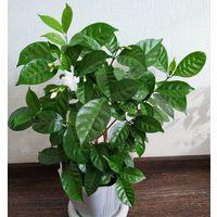 Табернемонтана - редкое декоративно-цветущее комнатное растение