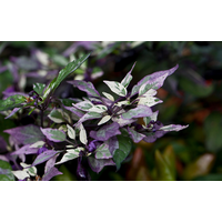 ПЕРЕЦ ОСТРЫЙ СОРТ Pepper Ornamental Purple Flash Variegated (Пурпурная Вспышка, пестролистный)