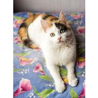 Молодая трехцветная кошка (стерилизованная) в дар