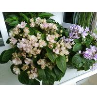 Фиалка Ле-Зимний цветок,трейлер-2 листа
