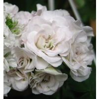 Пеларгония Ise Rose, укорененный черенок