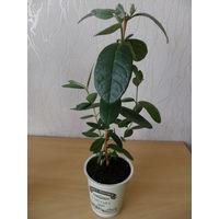 Экзотическое растение фейхоа