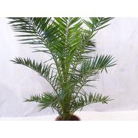 Пальма  финик  канарский.  Молодой  кустик.