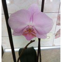 Орхидея нежно розовая
