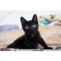 Алита черная девочка котенок в дар!