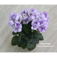 Фиалка First Prize (молодое растение с фото) мини