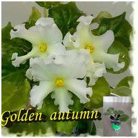 Фиалка Golden autumn - детка
