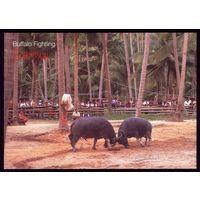 Тайланд Бой быков