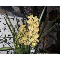Орхидея цимбидиум желтый