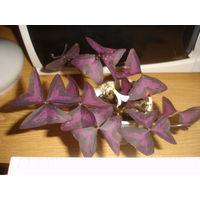 Молодое растение Оксалис Oxalis Кислица