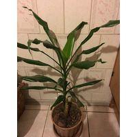 Бамбук 60 см ( продаётся без горшка)
