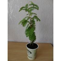 Экзотическое растение тамаринд.