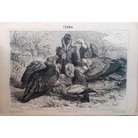 ГРИФЫ. Энциклопедическая гравюра Спб.   24 Х 16см.