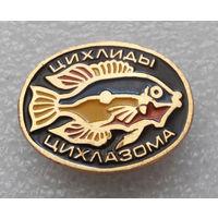 Значок. Рыбы. Цихлиды. Цихлазома #0178