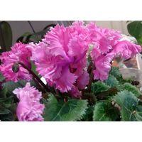 Цикламены PomPom Rose и PomPom Purple. Семена