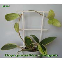 Хойя Hoya parasitica var.( белый край)