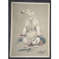 Лаптев А. Белый медведь. 1956 г. Чистая.