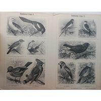 Воробьиныя птицы 1. 2. 3. 4. энциклопедическая гравюра. СПБ.  32 х24см.