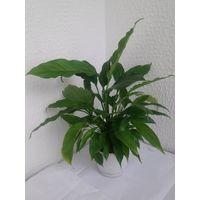 Спатифиллум взрослое растение