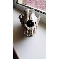 Настоящий череп волка