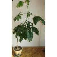 Комнатное растение 170см.