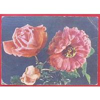 Роза и циния. Чистая. 1959 года. Самсонова.