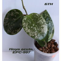 Хойя Hoya acuta, stable pink spot splash on cordate leaves, EPC-997