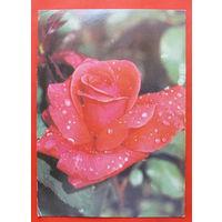 Роза. Чистая. 1982 года.