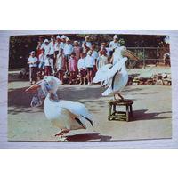 Пеликаны (уголок Дурова); 1971, чистая (размер 9*14).