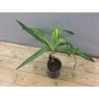 Юкка взрослое растение пальма