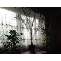 Пальмы Feniks