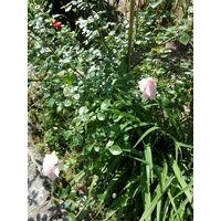 Роза - многолетний кустарник с розовыми и красными цветами.