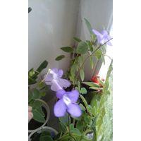 Стрептокарпус цветущий