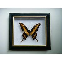 Коллекционная бабочка из Перу.