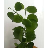 "Дисхидия Dischidia sp. ""Apple leaf"""