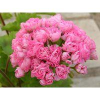 Пеларгония Swanland Pink/Australien Pink Rosebud  - укорененный черенок