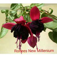 Фуксия Rohees New Millennium свежесрезанный черенок