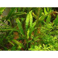 Аквариумные растения Криптокорина Родственная
