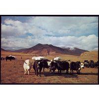 Монголия Яки