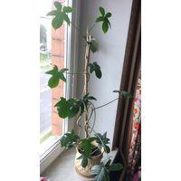 Филодендрон филодендрум взрослое большое растение 75 см