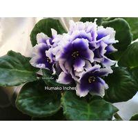 Фиалка Humako Inches (св.лист)