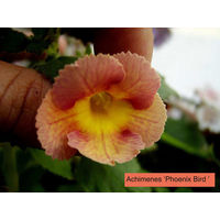 Ахименес Phoenix Bird(S.Saliba, 2014)